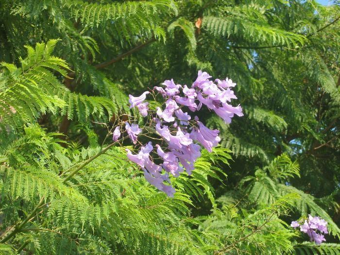 Jacaranda Mimosifolia From Burncoose Nurseries