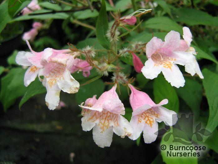 Kolkwitzia Amabilis Pink Cloud From Burncoose Nurseries