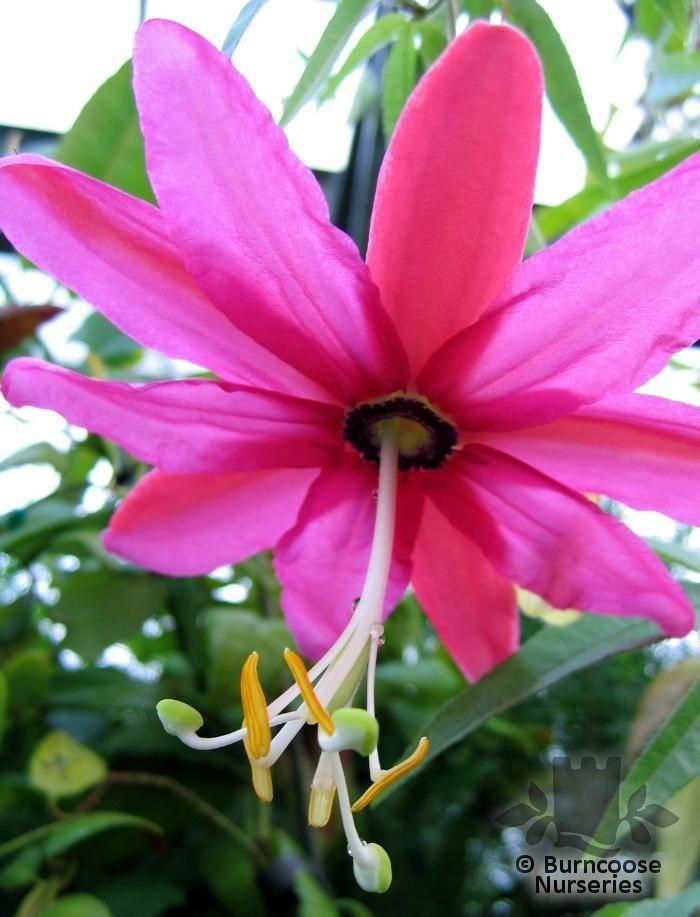 Passiflora antioquiensis from burncoose nurseries passiflora antioquiensis mightylinksfo