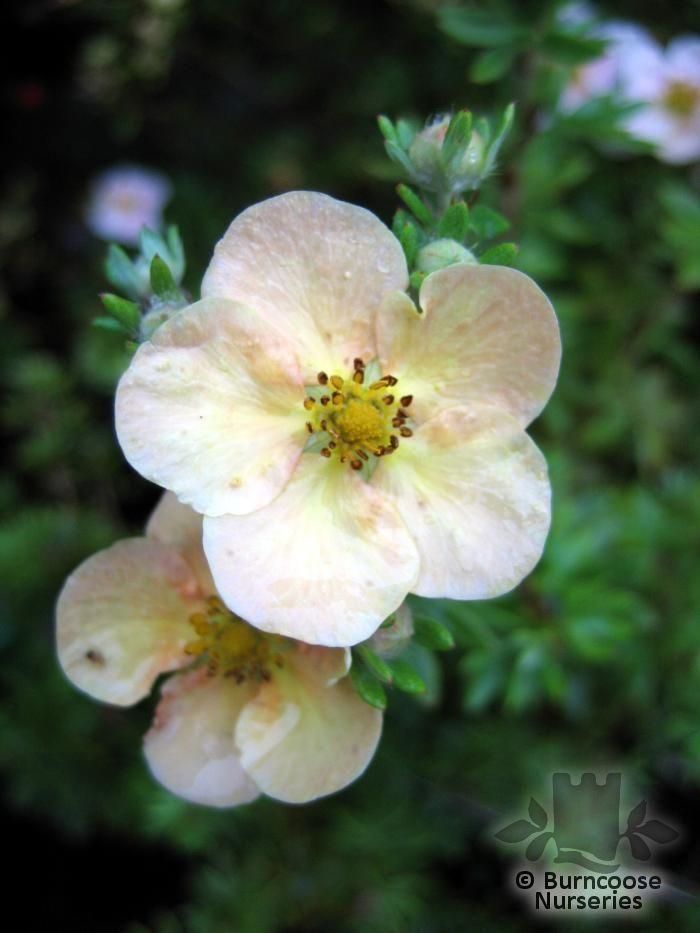 Daydawn Potentilla Potentilla Fruticosa 'daydawn'