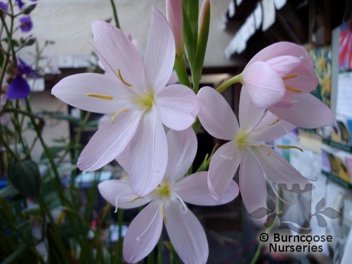 Hesperantha coccinea pink princess from burncoose nurseries light pink flowers fully hardy mightylinksfo