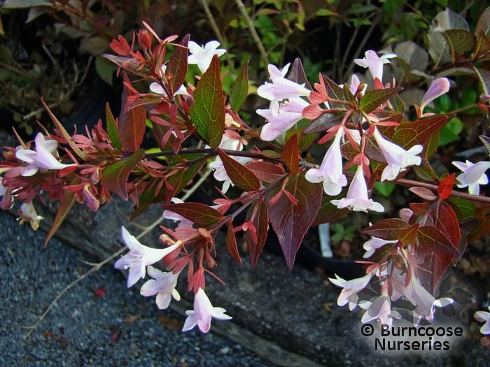 Abelia X Grandiflora From Burncoose Nurseries