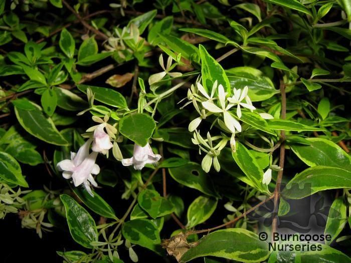 Abelia X Grandiflora From Burncoose Nurseries