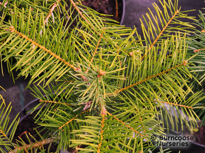 Abies Concolor From Burncoose Nurseries