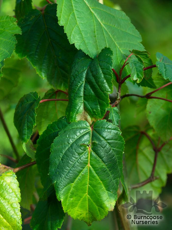 Acer Davidii George Forrest From Burncoose Nurseries