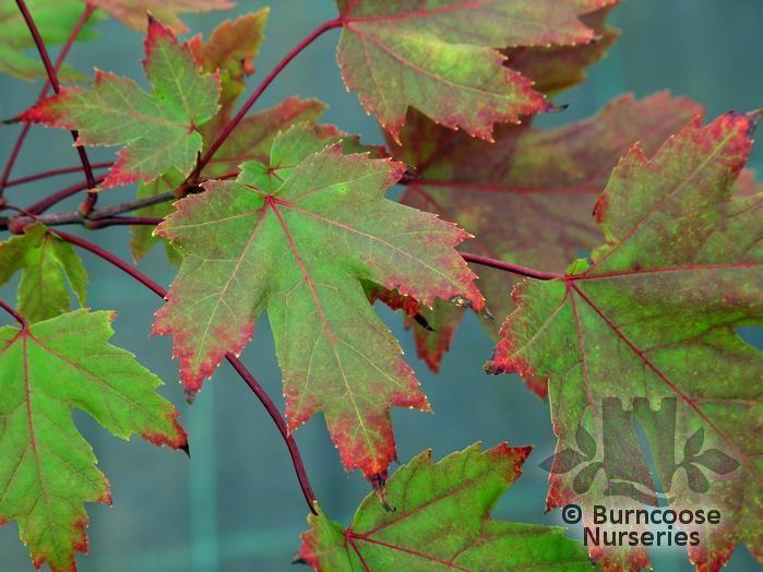 Acer X Freemanii Autumn Blaze From Burncoose Nurseries