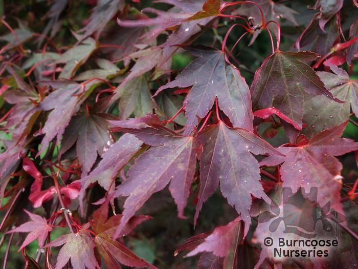 Acer Palmatum Atropurpureum From Burncoose Nurseries