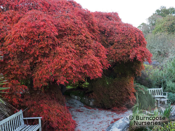 Acer Palmatum Dissectum Viridis From Burncoose Nurseries