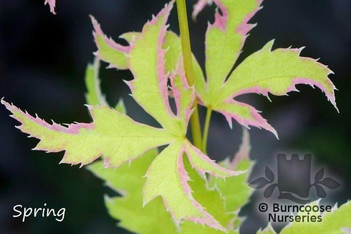 Acer Palmatum Metamorphosa From Burncoose Nurseries