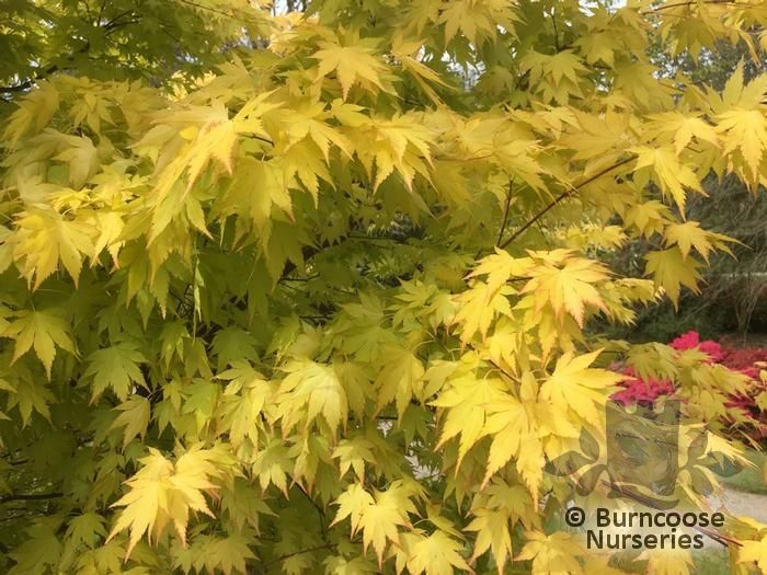 Acer Palmatum Orange Dream From Burncoose Nurseries