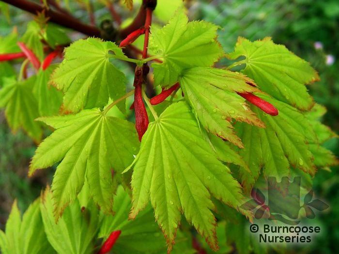 Acer Shirasawanum Aureum From Burncoose Nurseries