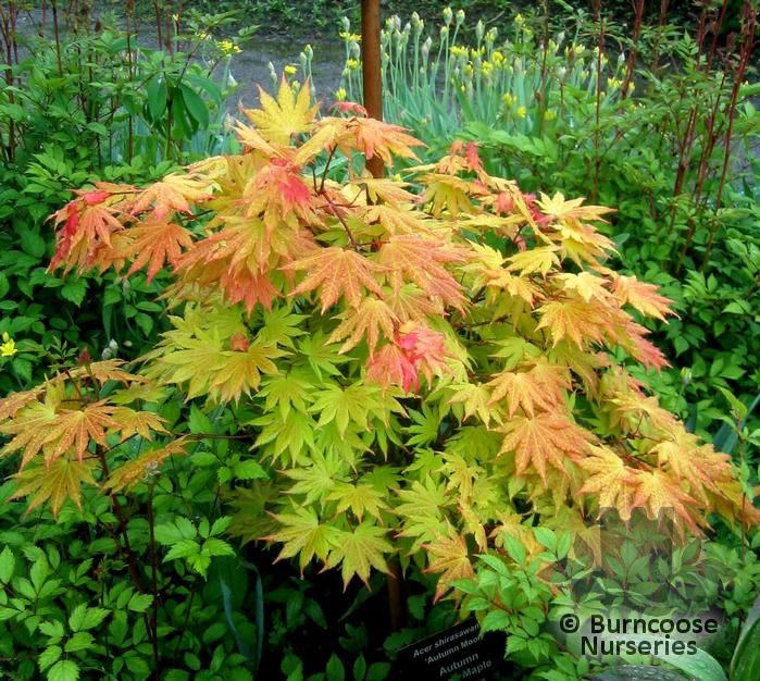Acer From Burncoose Nurseries Page 3
