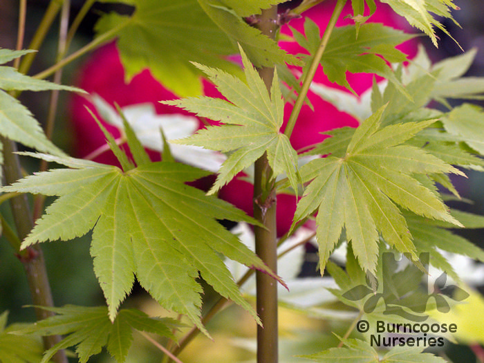 Acer Shirasawanum Jordan From Burncoose Nurseries