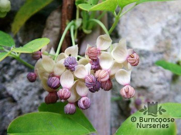 Akebia quinata alba from burncoose nurseries commonly known as chocolate vine unusual delicate creamy white flowered mightylinksfo