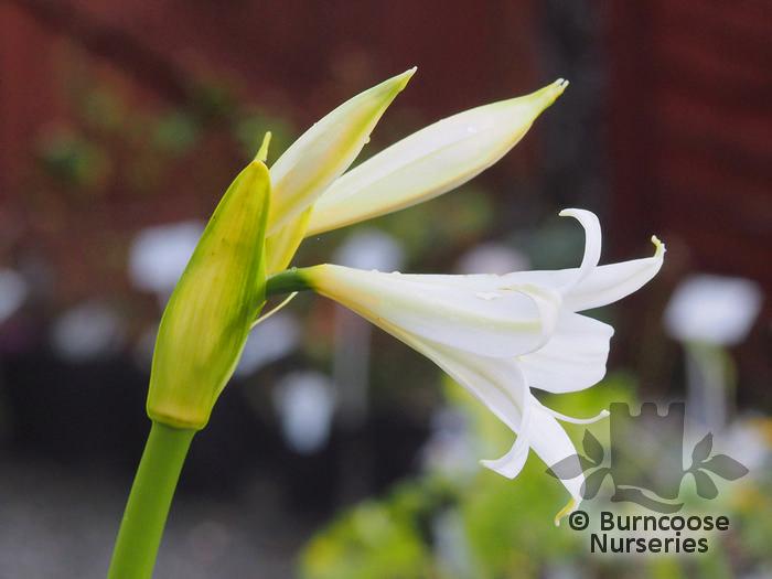 Amaryllis belladonna from burncoose nurseries for Amaryllis bulbe conservation