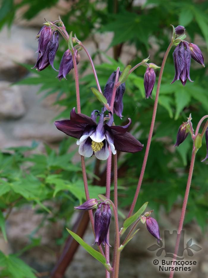 Aquilegia From Burncoose Nurseries