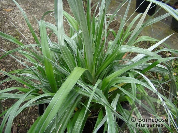 astelia chathamica silver spear from burncoose nurseries rh burncoose co uk