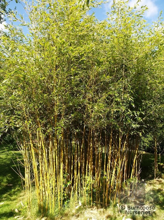 buy bamboo phyllostachys vivax 39 aureocaulis 39 plants from. Black Bedroom Furniture Sets. Home Design Ideas
