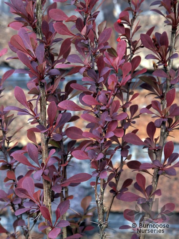 berberis thunbergii atropurpurea from burncoose nurseries. Black Bedroom Furniture Sets. Home Design Ideas