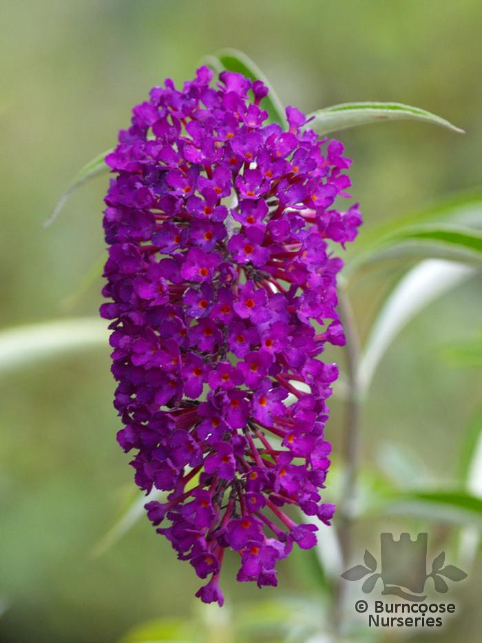 Buddleja Davidii Nanho Purple From Burncoose Nurseries