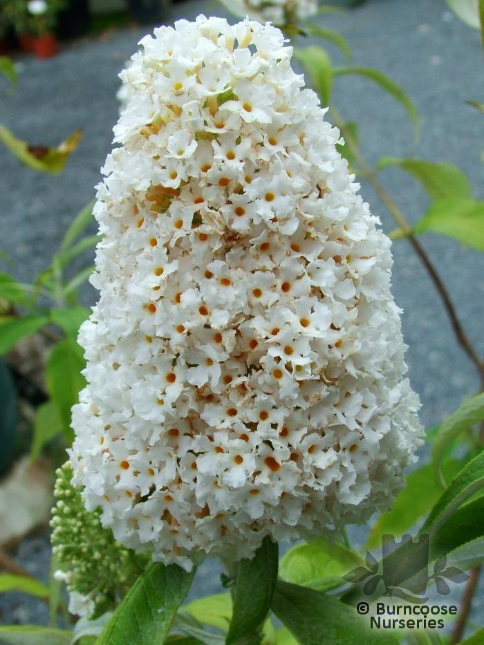 Buddleja Davidii White Profusion From Burncoose Nurseries
