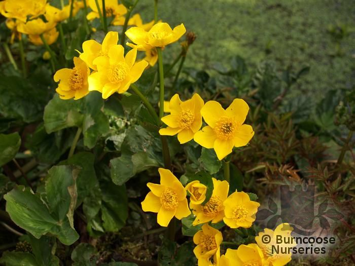 Caltha palustris from burncoose nurseries commonly known as kingcup marsh marigold mollyblobs creeping rhizomes and buttercup yellow flowers mightylinksfo