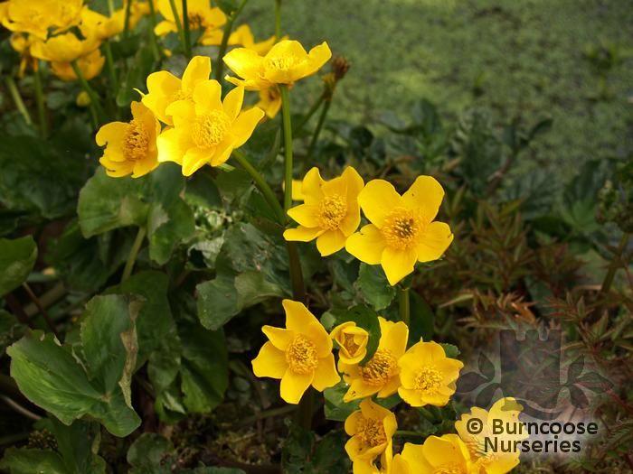 Caltha Palustris From Burncoose Nurseries