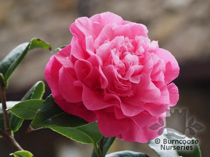 Camellia debbie from burncoose nurseries very full double paeony flowers deep pink mightylinksfo