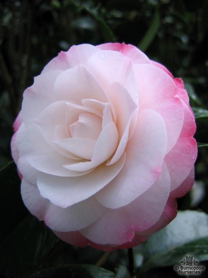 snow on the mountain camellia