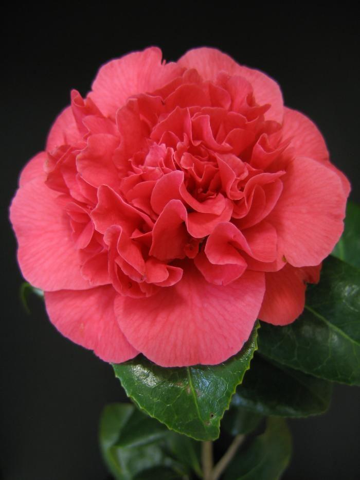 Camellia Kramer S Supreme From Burncoose Nurseries