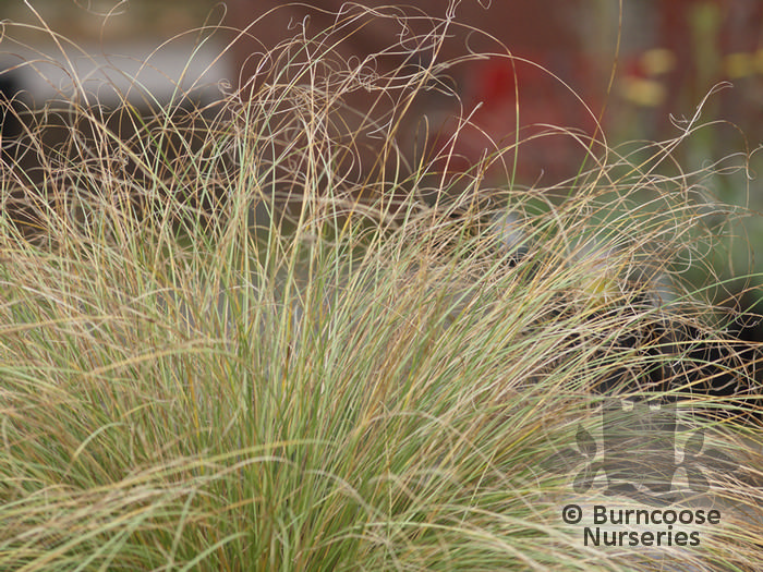 Carex Comans Frosted Curls From Burncoose Nurseries