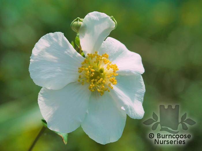 Carpenteria From Burncoose Nurseries
