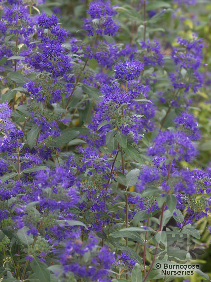 buy caryopteris x clandonensis 39 heavenly blue 39 plants from. Black Bedroom Furniture Sets. Home Design Ideas
