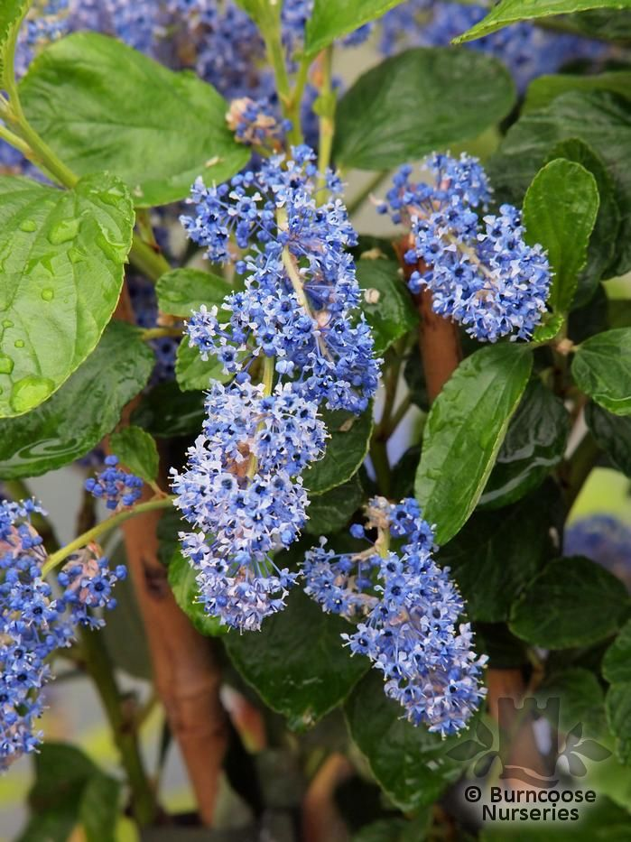 ceanothus arboreus 39 trewithen blue 39 from burncoose nurseries. Black Bedroom Furniture Sets. Home Design Ideas