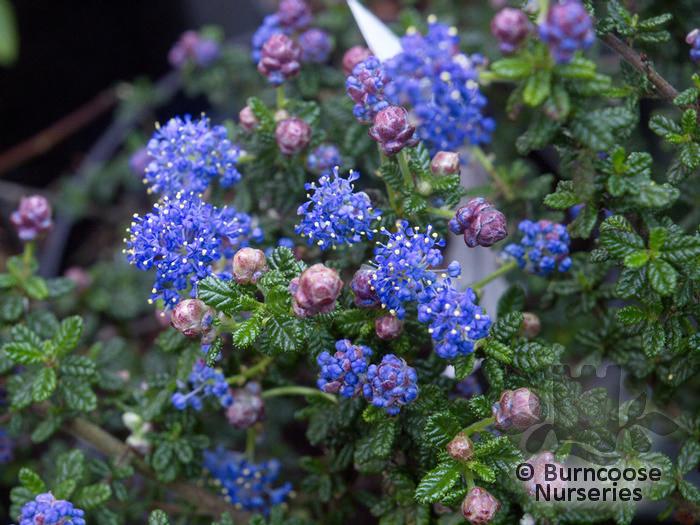 ceanothus impressus 39 puget blue 39 from burncoose nurseries. Black Bedroom Furniture Sets. Home Design Ideas