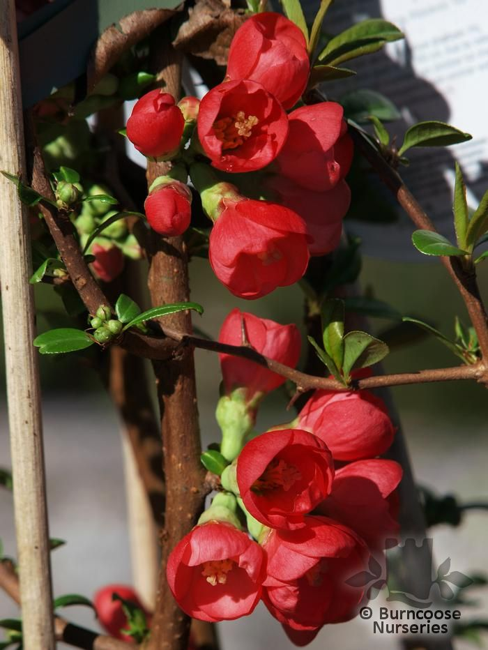 Chaenomeles Speciosa Rubra From Burncoose Nurseries