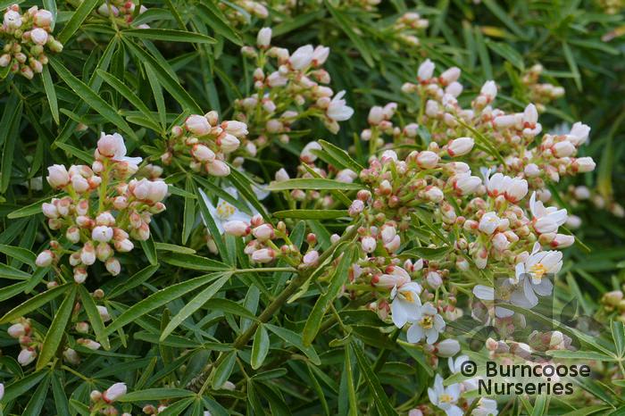 choisya x dewitteana aztec pearl from burncoose nurseries