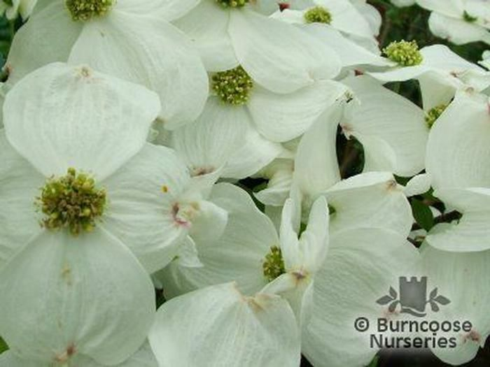 cornus florida 39 cloud nine 39 from burncoose nurseries flowering dogwoods. Black Bedroom Furniture Sets. Home Design Ideas
