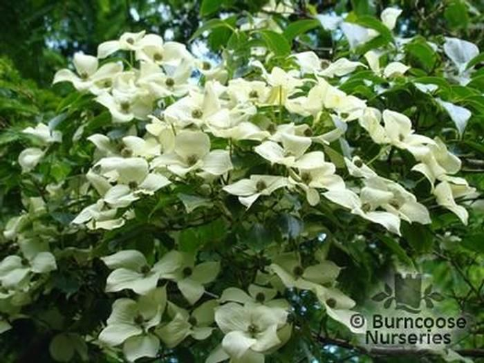 cornus kousa var chinensis from burncoose nurseries. Black Bedroom Furniture Sets. Home Design Ideas