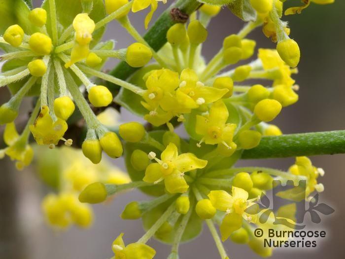 cornus mas from burncoose nurseries flowering dogwoods. Black Bedroom Furniture Sets. Home Design Ideas