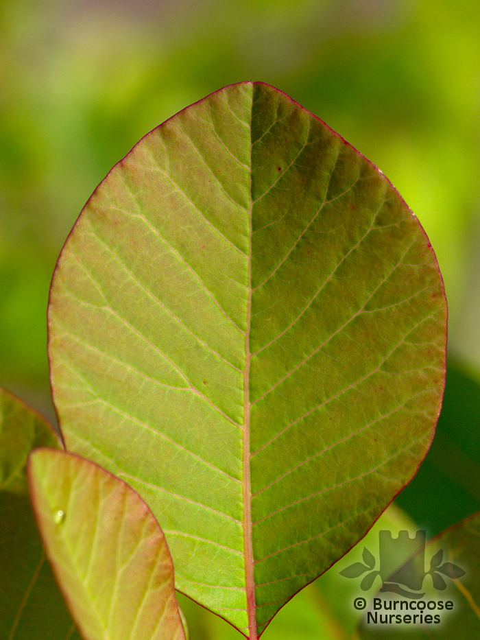 Buy Cotinus Coggygria 'Flame' plants from Burncoose Nurseries