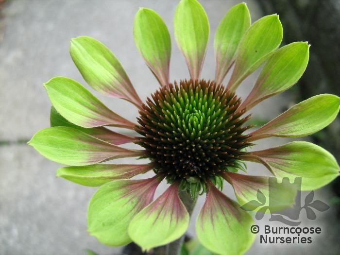 Echinacea From Burncoose Nurseries