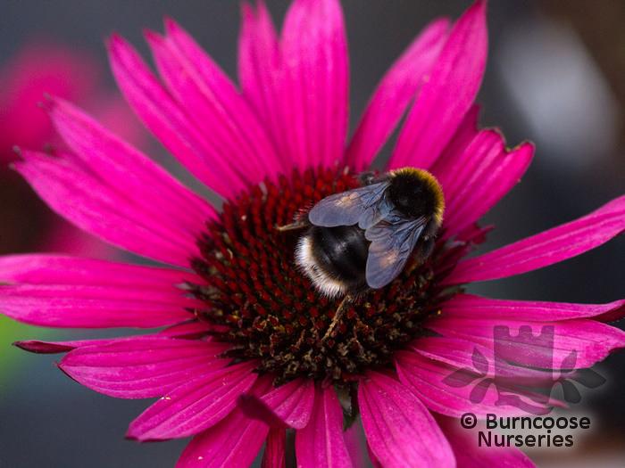 echinacea purpurea 39 fatal attraction 39 from burncoose nurseries. Black Bedroom Furniture Sets. Home Design Ideas