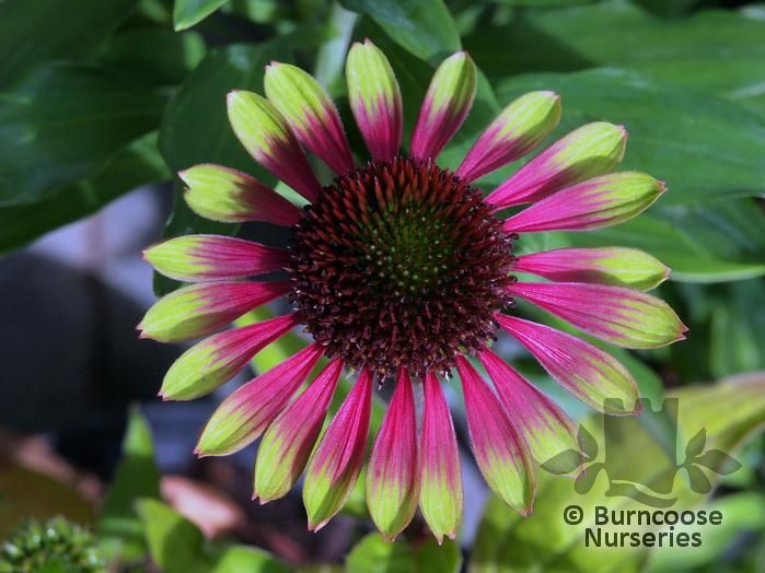 echinacea 39 green envy 39 from burncoose nurseries. Black Bedroom Furniture Sets. Home Design Ideas