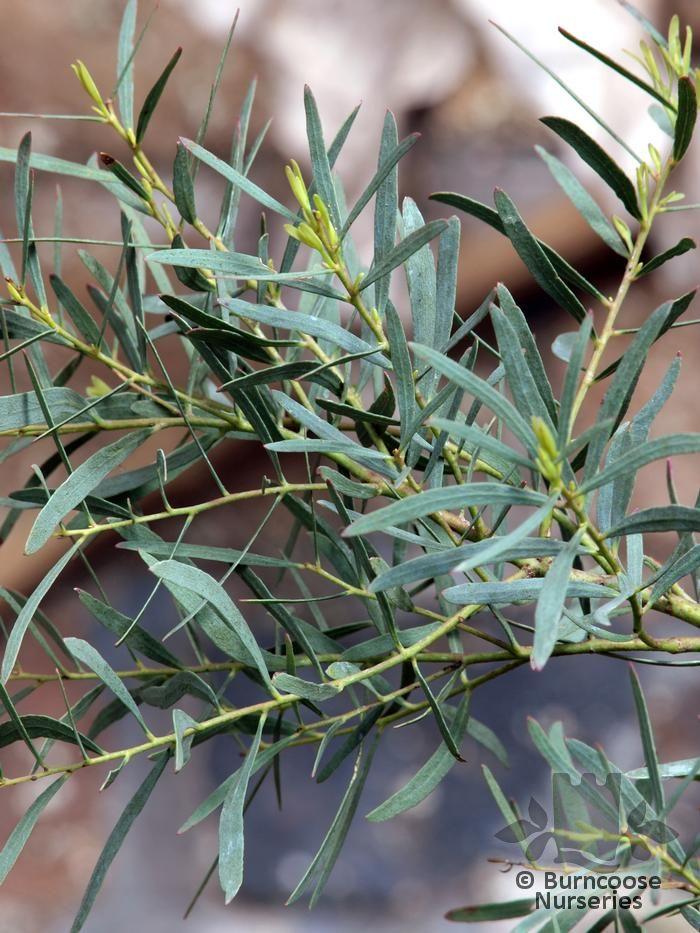 Eucalyptus Nicholii From Burncoose Nurseries