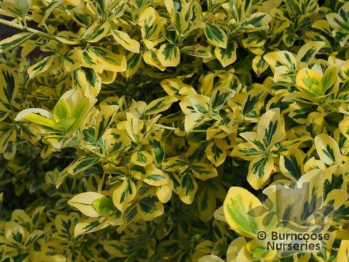 euonymus fortunei 39 emerald 39 n 39 gold 39 from burncoose nurseries. Black Bedroom Furniture Sets. Home Design Ideas
