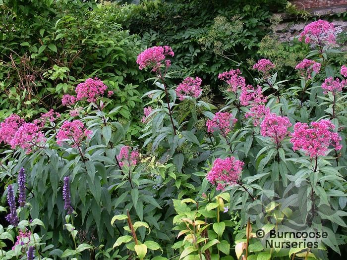 Eupatorium maculatum atropurpureum from burncoose nurseries commonly known as ague weed joe pye weed thorough wort mightylinksfo