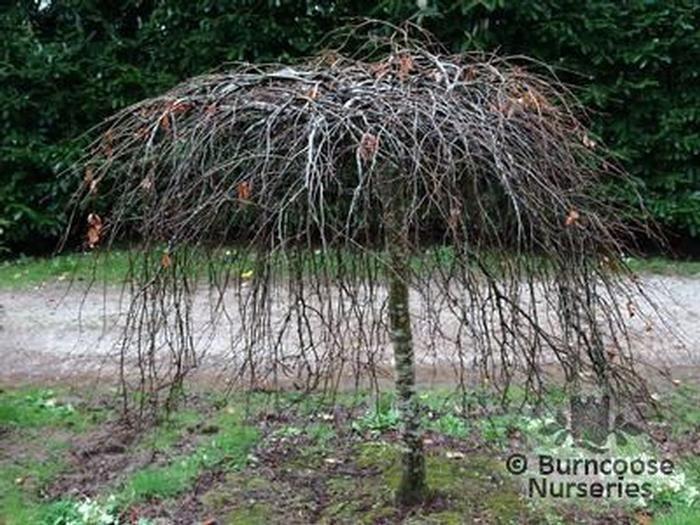 fagus sylvatica 39 purpurea pendula 39 from burncoose nurseries. Black Bedroom Furniture Sets. Home Design Ideas