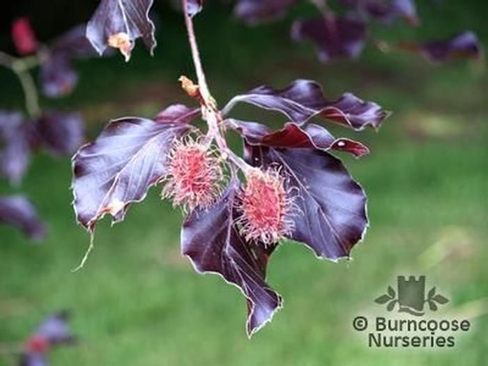 fagus sylvatica from burncoose nurseries. Black Bedroom Furniture Sets. Home Design Ideas