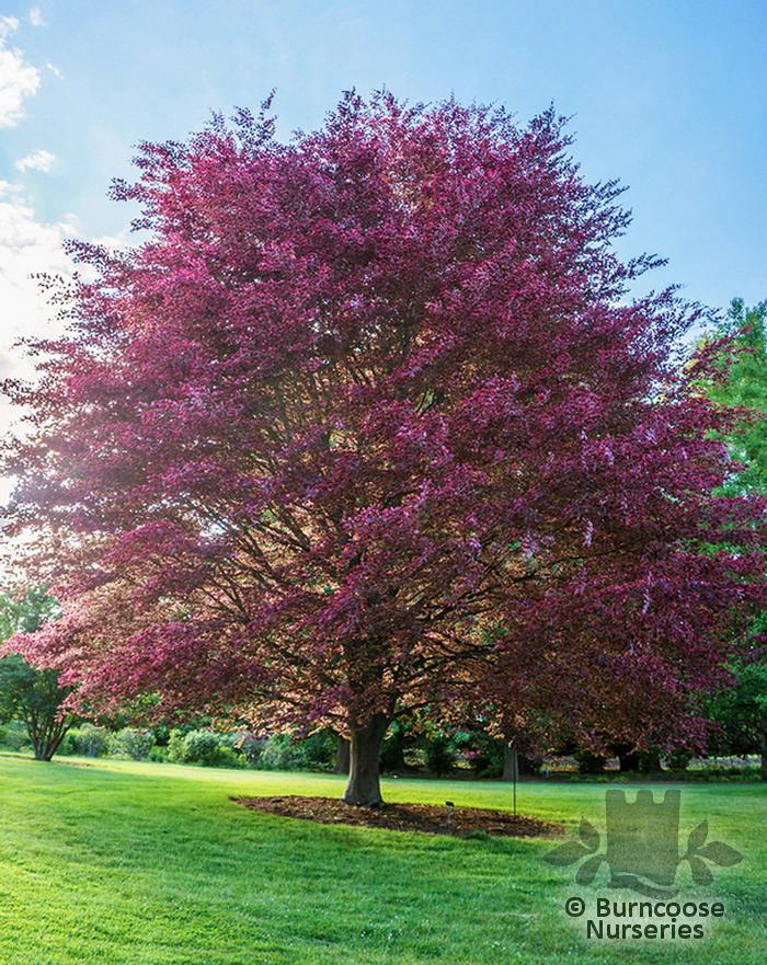 Fagus Sylvatica Purpurea Tricolor From Burncoose Nurseries